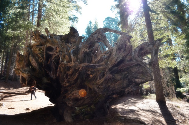 Incredible root system