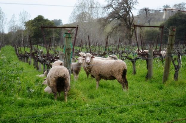 Sheep providing fertilizer