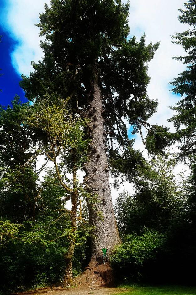 World's Largest Spruce