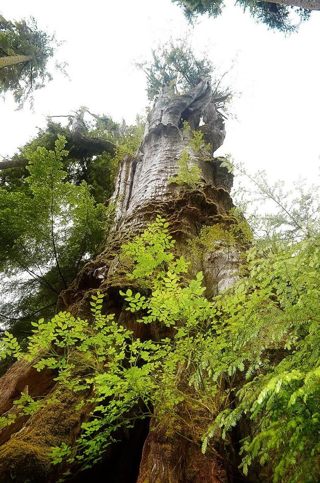 Worlds Largest Cedar