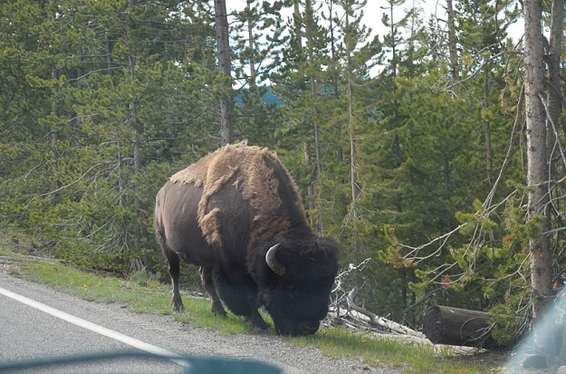 This buffalo was right outside our car window