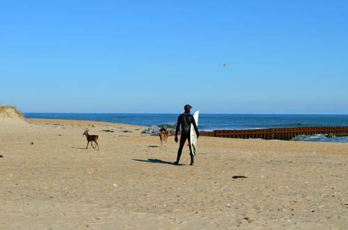 Deer and Surfers on the Beach