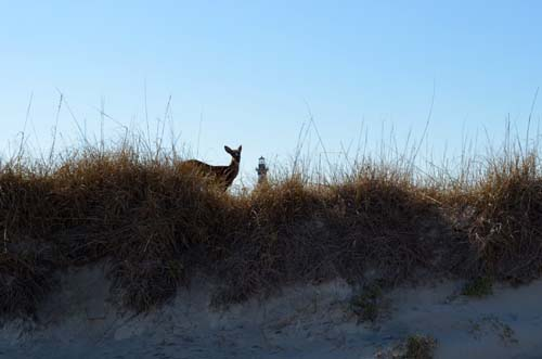 Deer on the Dunes