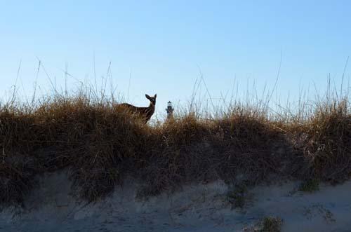 Deer on the Dunes