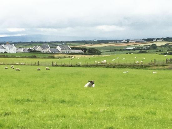 giant-causeway-sheep