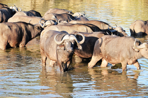 Buffalos at a Watering Hole in Kampala