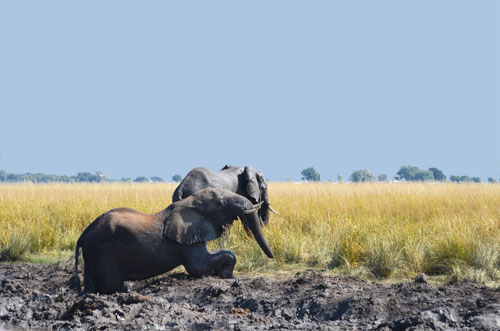 Chobe Elephants Playing