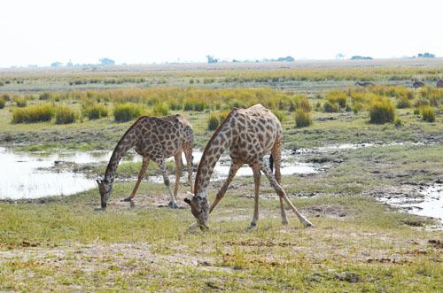 Chobe Giraffe Kneeling