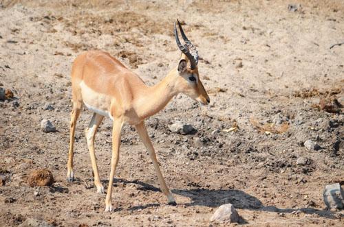 Chobe Impala