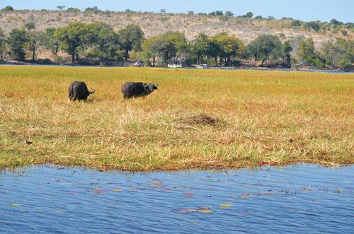 Chobe Marine Hippos