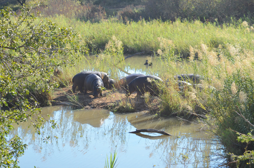 Hippo lounging in Kampala