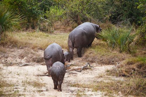 Zambezi River Hippos