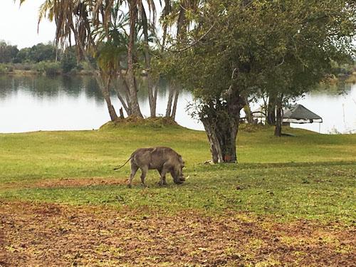 Zambezi River Warthogs