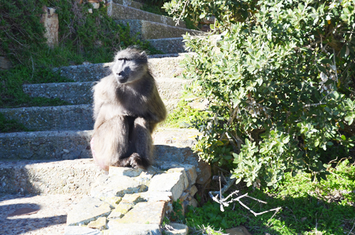 Baboons in Cape of Good Hope SA