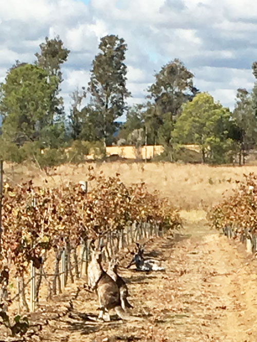 Kangaroo in Vineyard